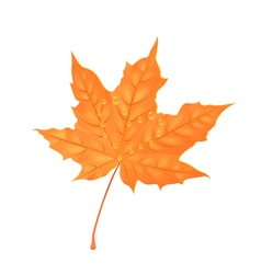 Autumn maple foliage Creative Orange leaf with vector image