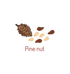 Pine nuts and pine cone vector