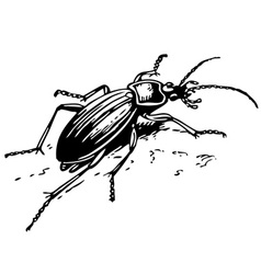 ground beetle vector image