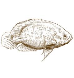 engraving of oscar fish vector image vector image