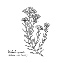 Ink helichrysum hand drawn sketch vector