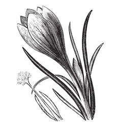 Crocus vintage engraving vector