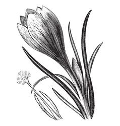 Crocus vintage engraving vector image vector image