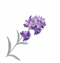 Lavender flower in watercolor paint style vector