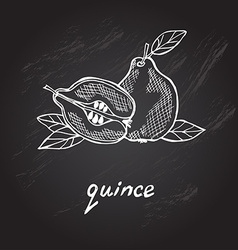 Hand drawn quince vector