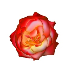 rad rose isolated on white See more like it in my vector image vector image