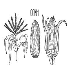 Graphic corn collection vector