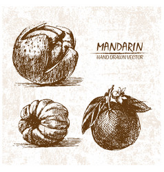 Digital detailed mandarin hand drawn vector