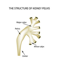 Structure of the renal pelvis infographics on vector