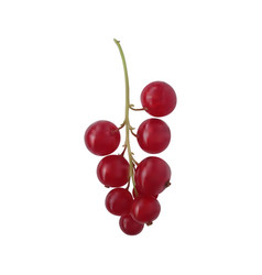 Berry red currant on a green branch vector
