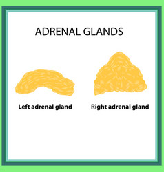 The left and right adrenal gland infographics on vector