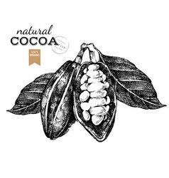hand drawn cocoa beans in vintage style vector image