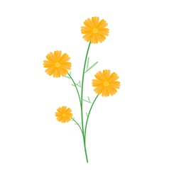 Beautiful yellow cosmos flowers on white backgroun vector