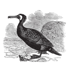 Great Cormorant vintage engraving vector image