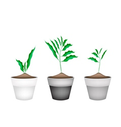 Fresh cardamon plant in ceramic flower pots vector