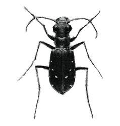 green tiger beetle cicindela campestris vector image vector image