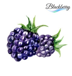 Watercolor blackberry vector image