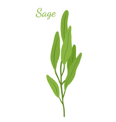 Sage leaves salvia organic herb vector
