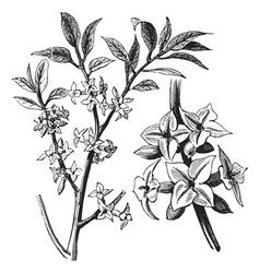 Daphne vintage engraving vector