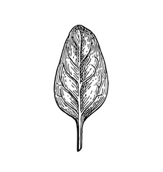 ink sketch of spinach vector image