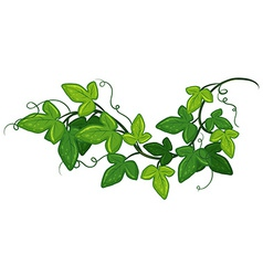 Ivy plant vector image