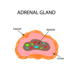The anatomical structure of the adrenal gland vector