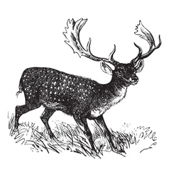 Fallow deer vintage engraving vector