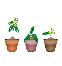 Fresh senna siamea in ceramic flower pots vector
