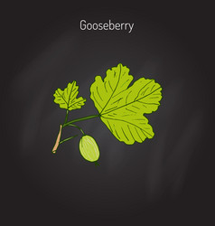 gooseberry branch vector image vector image