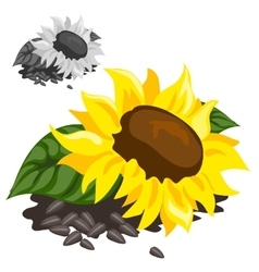 Ripe yellow sunflower with black seeds vector