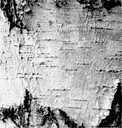 The bark birch vector