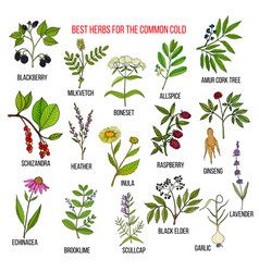 Best herbs for common cold vector