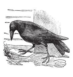 Raven vintage engraving vector image vector image