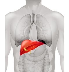 Human liver in body vector image vector image