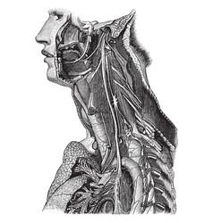 Trunk of the pneumogastric nerve vintage vector