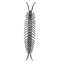 Centipede vintage vector
