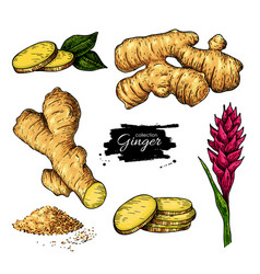 ginger set hand drawn root sliced pieces vector image