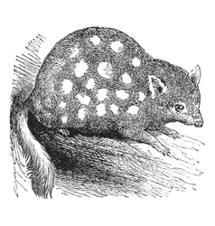 Eastern quoll engraving vector