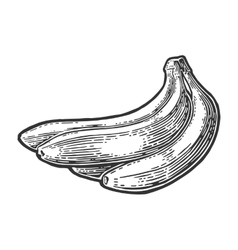 Bunches of fresh banana fruits vector