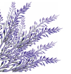 Lavender flower in watercolor paint style vector image