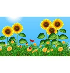 Sunflower field with ladybugs flying vector