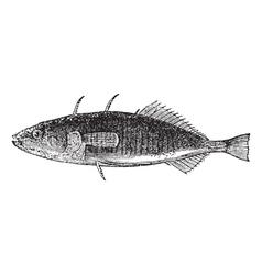 Stickleback vintage engraving vector image vector image