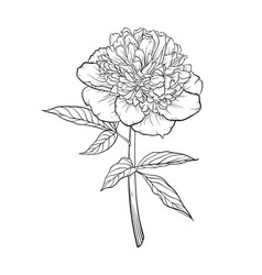 beautiful monochrome black and white peony vector image