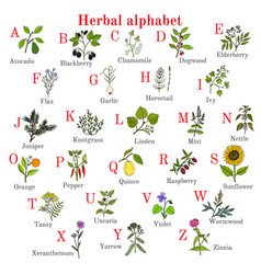 Herbal alphabet herbs and plants collection vector