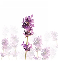 Lavender flower in watercolor paint vector image
