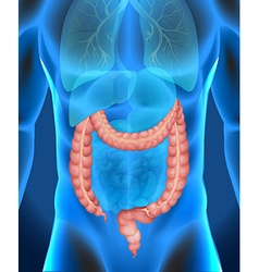 Xray of humans large intestine vector
