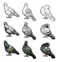 Set of pigeons in three pose and styles vector image
