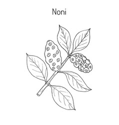 Morinda or noni vector