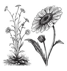 Chrysanthemum vintage engraving vector image