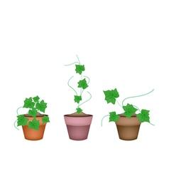 Three fresh ivy gourd in ceramic flower pots vector